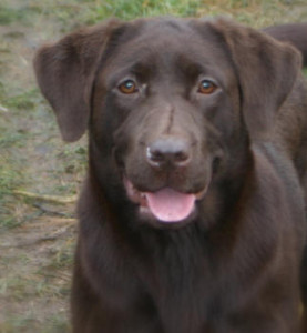 chocolate-lab